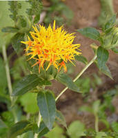 Common Coltsfoot Flower Extract