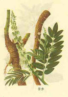 Sophora flavescens Extract