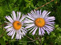 Tatarian Aster Root Extract